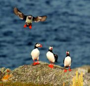 Puffins On Burhou WBB